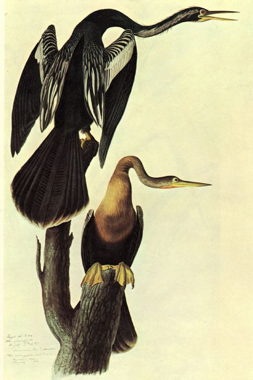 Audubon, John James: Anhinga. Ornithology Fine Art Print/Poster. Sizes: A4/A3/A2/A1 (00661)