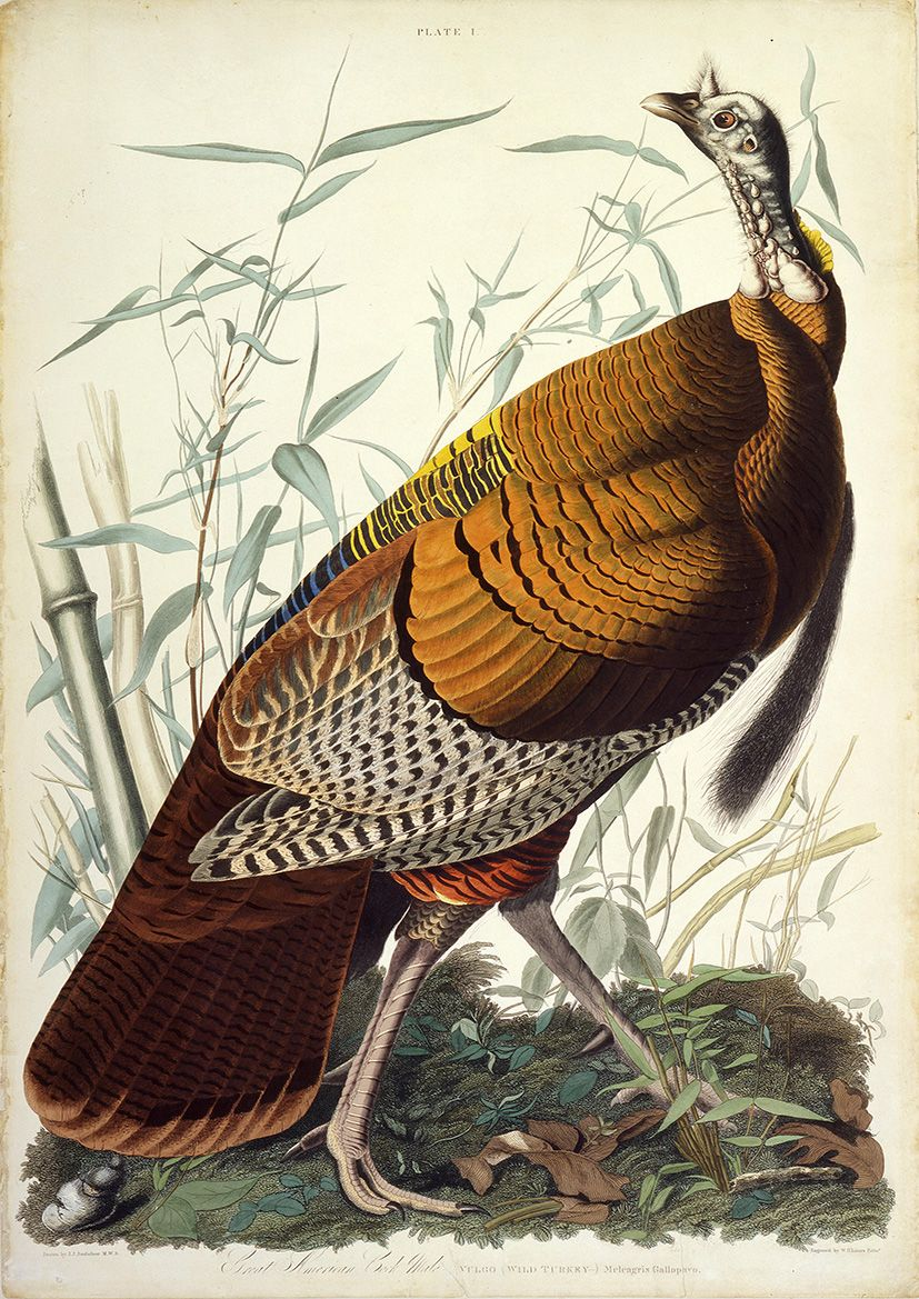 Audubon, John James: Great American Cock (Wild Turkey). Ornithology Fine Art Print/Poster (4921)