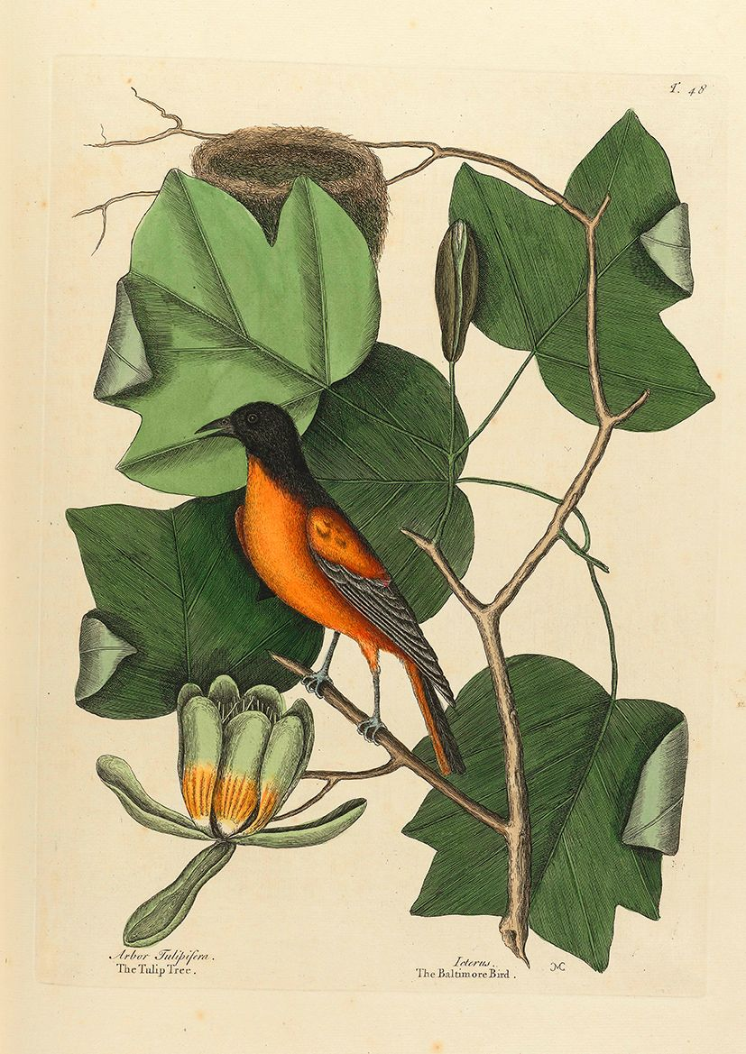 Catesby, Mark: The Baltimore Bird/The Tulip Tree. Fine Art Print/Poster (4744)